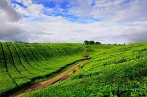 Kampung saya niiih...Perkebunan teh Sidamanik :D