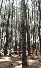 Barisan pohon pinus