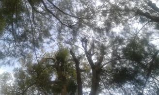 Atap cemara yang teduh
